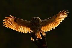 早晨后面光 飞行猫头鹰 在森林猫头鹰的猫头鹰在飞行 与猫头鹰的行动场面 飞行欧亚黄褐色的猫头鹰,以黑暗被弄脏 免版税库存照片