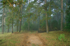 早晨在一个狂放的森林里,隐蔽 库存图片