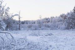 早晨在冬天森林里 免版税库存照片