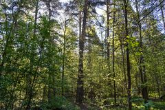 早晨在太阳通过高大的树木分支发光的森林里 俄国 假定大教堂dmitrov克里姆林宫莫斯科明信片区域俄国冬天 库存照片