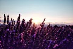 早晨在开花的淡紫色领域的太阳光芒 免版税库存照片