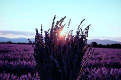 早晨在开花的淡紫色领域的太阳光芒 免版税库存图片
