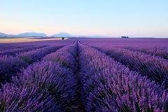 早晨在开花的淡紫色领域的太阳光芒 免版税图库摄影