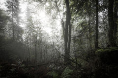 早晨在有薄雾的森林里 图库摄影