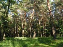 早晨在杉木森林里 库存照片