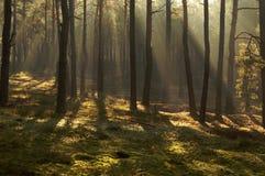 早晨在森林里。 库存图片