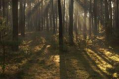 早晨在森林里。 图库摄影