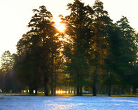 早晨太阳光芒通过老冷杉 早期的横向春天 免版税库存图片