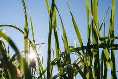 早晨太阳光芒通过绿色草覆盖发光与露滴 免版税库存图片