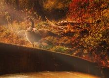 早晨太阳和鹅 免版税库存图片