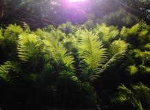早晨太阳和绿色蕨 免版税库存图片