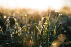 早晨太阳在小滴发光露水在草的绿色叶子 ?? 库存照片