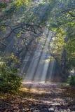 早晨太阳在秋天森林里发出光线发光 免版税库存照片