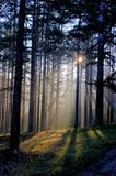 早晨太阳射线在森林里 库存图片