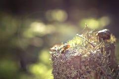 早晨太阳照亮在一个青苔隐蔽的树桩的一只小锅牛 库存图片