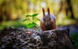 早晨好逗人喜爱的灰鼠 库存图片