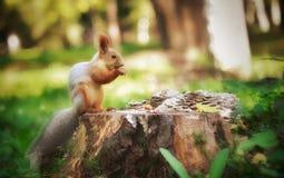 早晨好逗人喜爱的灰鼠 库存照片