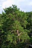 早晨时间的杉树森林 库存图片