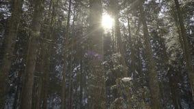 早晨步行在山的云杉的森林冬天 影视素材