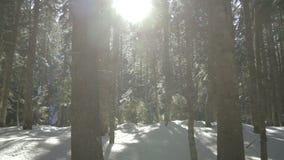 早晨步行在山的云杉的森林冬天 股票录像