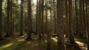 早晨步行在山的云杉的森林秋天 影视素材