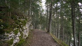 早晨步行在山的云杉的森林秋天 股票录像