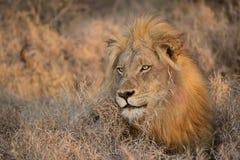 早晨狮子, Balule储备,南非 免版税图库摄影
