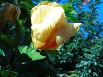早晨的黄色花 库存图片