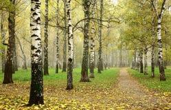 早晨秋天薄雾在10月横穿道路的桦树树丛里 免版税库存照片