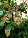 早晨绿色雨的植物红色& 库存照片