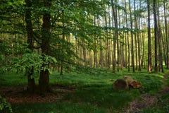 早晨阳光光芒在森林里 免版税库存图片