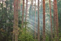 早晨阳光在杉木森林里 免版税库存图片