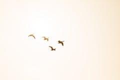 早晨阳光在飞行中由后照的四只加拿大鹅 免版税库存图片