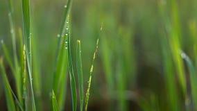 早晨降露在稻田 免版税库存照片