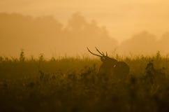 早晨雨林,肉猪鹿 免版税库存照片