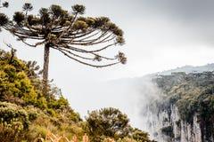 早晨雾围拢的南洋杉树的风景d 库存照片