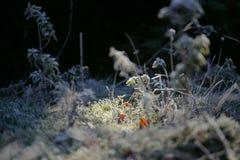 早晨霜在草的秋天树冰 灌木的弗罗斯特 A 免版税库存图片