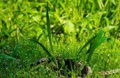 早晨露水大透明下落在草的在夏天关闭 免版税库存照片