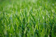 早晨露水宽宏地刷新了草地早熟禾 免版税库存图片