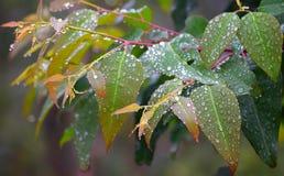 早晨露滴-在多彩多姿的叶子的水结露-自然本底 图库摄影