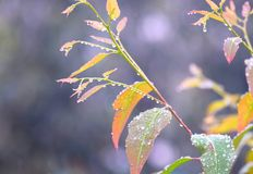 早晨露滴-在多彩多姿的叶子的水结露-自然本底 库存图片