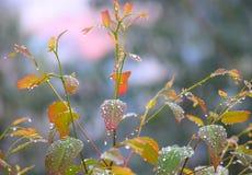 早晨露滴-在多彩多姿的叶子的水结露-自然本底 库存照片