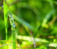 早晨露水,充满活力的绿草 免版税库存照片