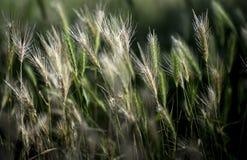 早晨麦子 库存照片
