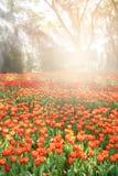 早晨,郁金香在被排行的庭院里被种植了 库存图片