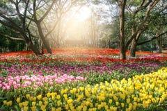 早晨,郁金香沿美丽的庭院被种植 库存照片