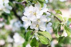 早期的与明亮的白花的春天开花的苹果树 免版税库存图片
