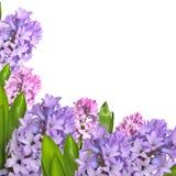 早期的与淡紫色和桃红色hyac的春天精美花卉背景 免版税图库摄影