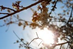早期的与阳光的春天开花的杏子 免版税库存图片