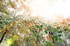 早期的冬天在秋天森林里 免版税库存图片